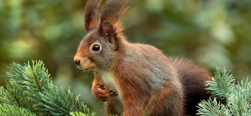 Halott mókust kötöttek ki egy miskolci társasház előtti fára