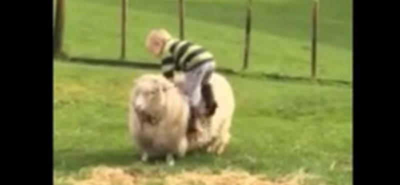 Videó: A kisfiú azonnal megbánja, hogy megpróbált juhon lovagolni