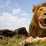Hogyan lehet oroszlánt fényképezni 20 centiről? [videóval]