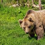 Szeretettel Erdélyből: Különös székely kommentek a szaporodó medveproblémákra