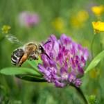 Miért is van óriási szükség városi méhlegelőkre?