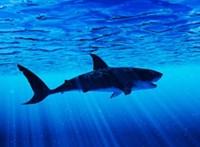 Cápatámadásban meghalt egy úszó Hawaiion