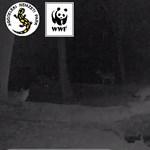 Ritka felvétel: tökös vaddisznó futamítja meg a farkasfalkát Aggteleknél