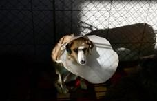 Láncra kötve vonszoltak egy félholt kutyát Apcon, a postás mentette meg