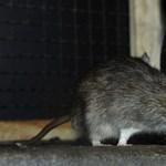 Ilyen még nem volt: ember fertőződött meg az eddig csak patkányok között terjedő vírussal