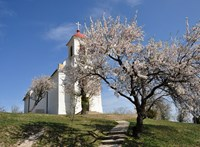 Európa fája – segítsük a pécsi mandulafát