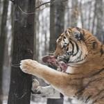 Calvin Klein-parfümmel vadásznak a gyilkos tigrisre