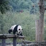 Pandák miatt telepítenek ki 172 ezer embert Kínában