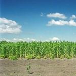 Génmódosítással szennyezett kukoricát találtak Baranyában
