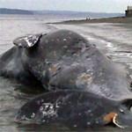 Szeméttel teli bálnát találtak