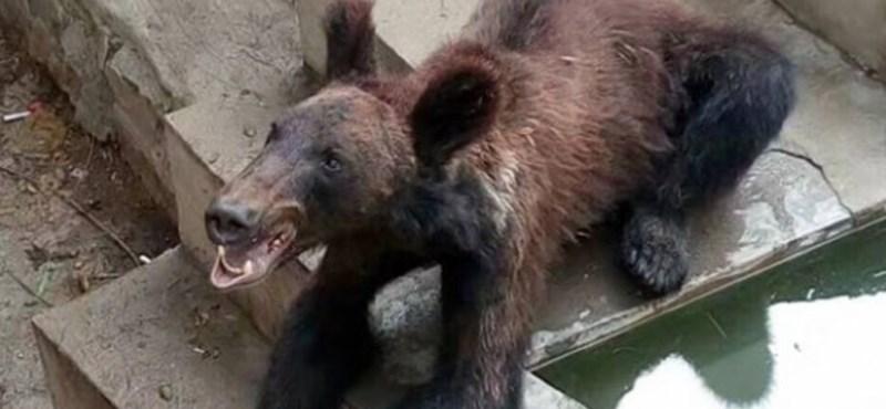 Egy súlyosan vékony medvebocs miatt támadnak egy kínai állatkertet
