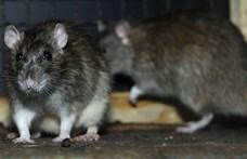Beteg patkányt fotóztak egy budai általános iskolánál