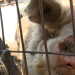 Nem indult nyomozás a dunaharaszti gazda ellen, aki állítólag disznóval fajtalankodott