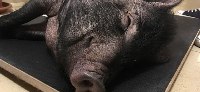 Fotók: Megmenekült Süti, az állatos kávézóban mutogatott sztármalac