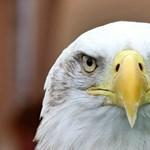 Egy sas pusztított el egy kormányzati drónt Amerikában