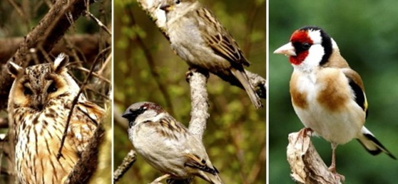 Ne bízza a háttérhatalomra: ön szavazhat arról, melyik legyen az év madara
