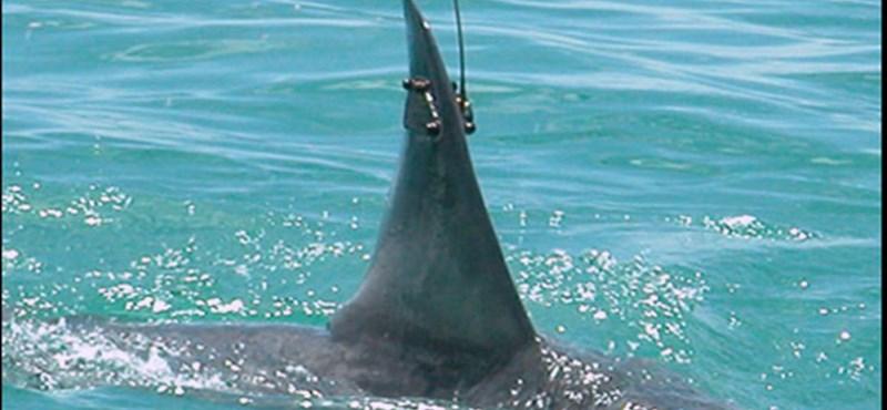 Különleges zsákmány: hat méteres, kilencszáz kilós cápát fogtak
