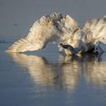 Drámai felvételek a Tisza-tavi jégbe fagyott hattyúról