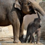Fotó: a kiselefánt imád pancsolni a hőségben