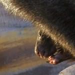 Babszemnyi méretű vombatbébi született a Fővárosi Állatkertben