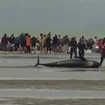 Háromszáz bálna pusztult el Új-Zélandon