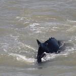 Krokodiloktól nyüzsgő folyóból próbálnak kimenteni eltévedt bálnákat Ausztráliában