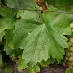 Szőlőiket féltik az ingatlanspekulánsoktól a balatoni bortermelők