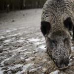 Az ukrán határ mentén próbálják feltartóztatni az afrikai sertéspestis vírusát