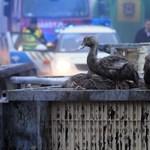 Madárinfluenza pusztítja a kacsákat Békés megyében