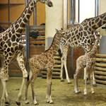Ingyen mehetnek be a budapesti állatkertbe a 14 éven aluliak a következő napokban
