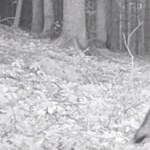 Egyszer csak átsétált egy farkasfalka az aggteleki vadkamera előtt – videó