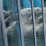 Medencepartival ünneplik Budapestre költözésüket a jegesmedvék – videó