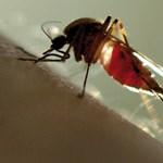 Négymillió szúnyogot csapott le egy nő
