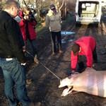 Fotó: Gyurcsány hirtelen felindulásból ölt disznót