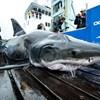 Hatalmas harapásnyomot találtak egy nagy fehér cápa fején, a kutatók se tudják, mi okozta