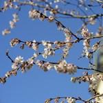 Fotó: már most virágba borultak a fák Prágában