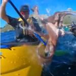 Polippal törölte képen egy fóka a kajakozót – videó