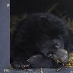 Menhelyet építenek Ukrajnában az alkoholista medvéknek
