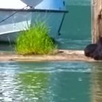 Medvekaland Kanadában: anyamedve mentette ki kölykét a tó vizéből – videó