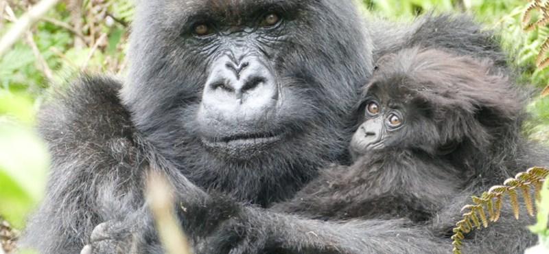 Csempészett gorillákat mentettek meg Zimbabwbéban