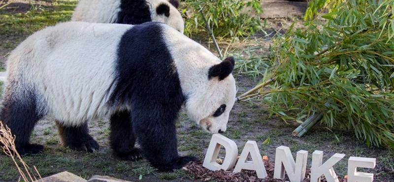 Visszatérnek a bécsi óriáspanda-ikrek Kínába. Előtte edzést kaptak