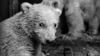Erős és egészséges a berlini állatkert jegesmedvebocsa, itt a videó
