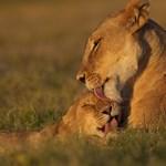 Különleges hónap indul vasárnap a National Geographic Wildon