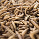 Kutatók szerint jobb lenne légylárvát enni