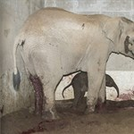 Elefánt született Nyíregyházán, itt vannak az első fotók