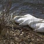 Madárinfluenza végezhetett több tucat hattyúval Zalában - fotók