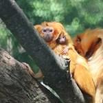 Arany oroszlánmajmocskák születtek Szegeden