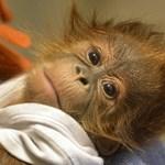 Több mint 100 000 orangutánt öltek meg Borneón