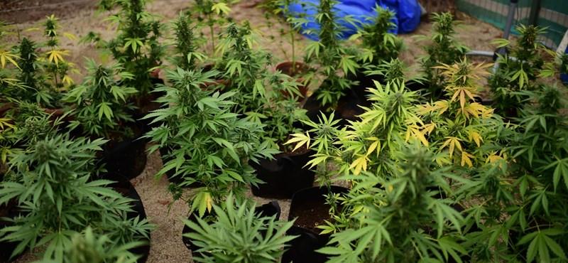 Kannabisszel fóliáztak