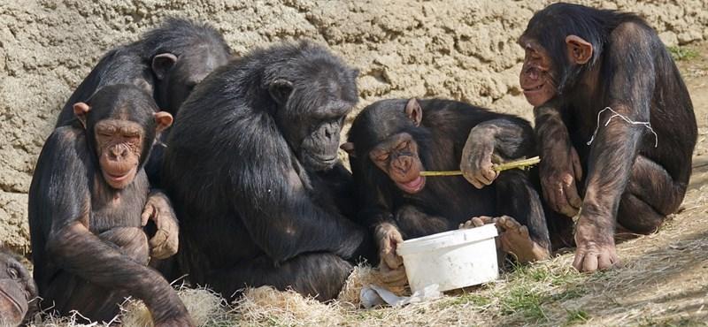 47 emberszabású majom tekintetét figyelték meg a tudósok, meglepő felfedezésre jutottak